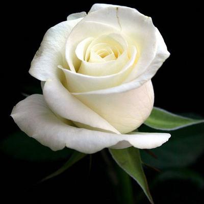 White-Rose-02