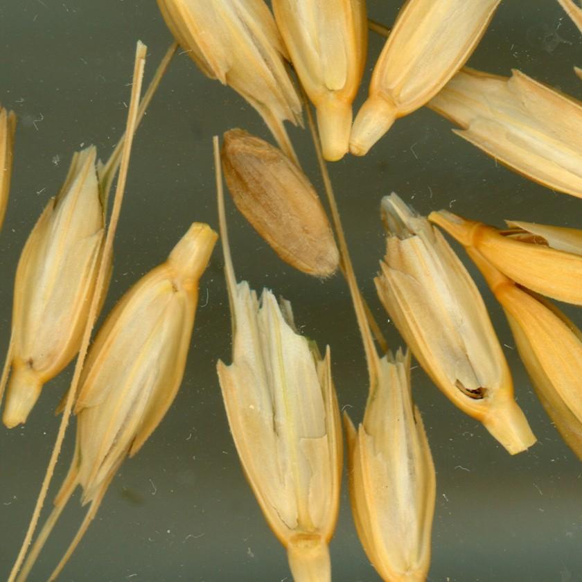 wheat-chaff