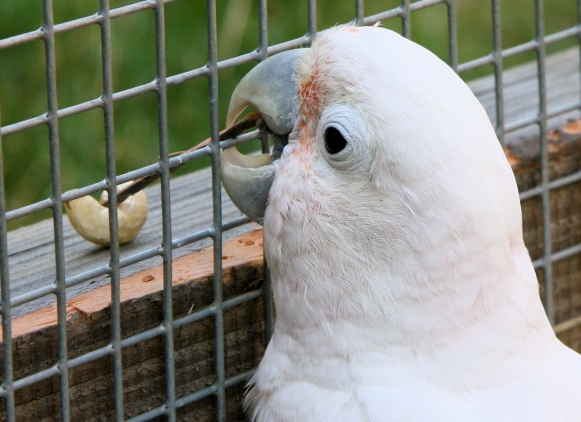 A cockatoo uses a little tool he made to reach a snack